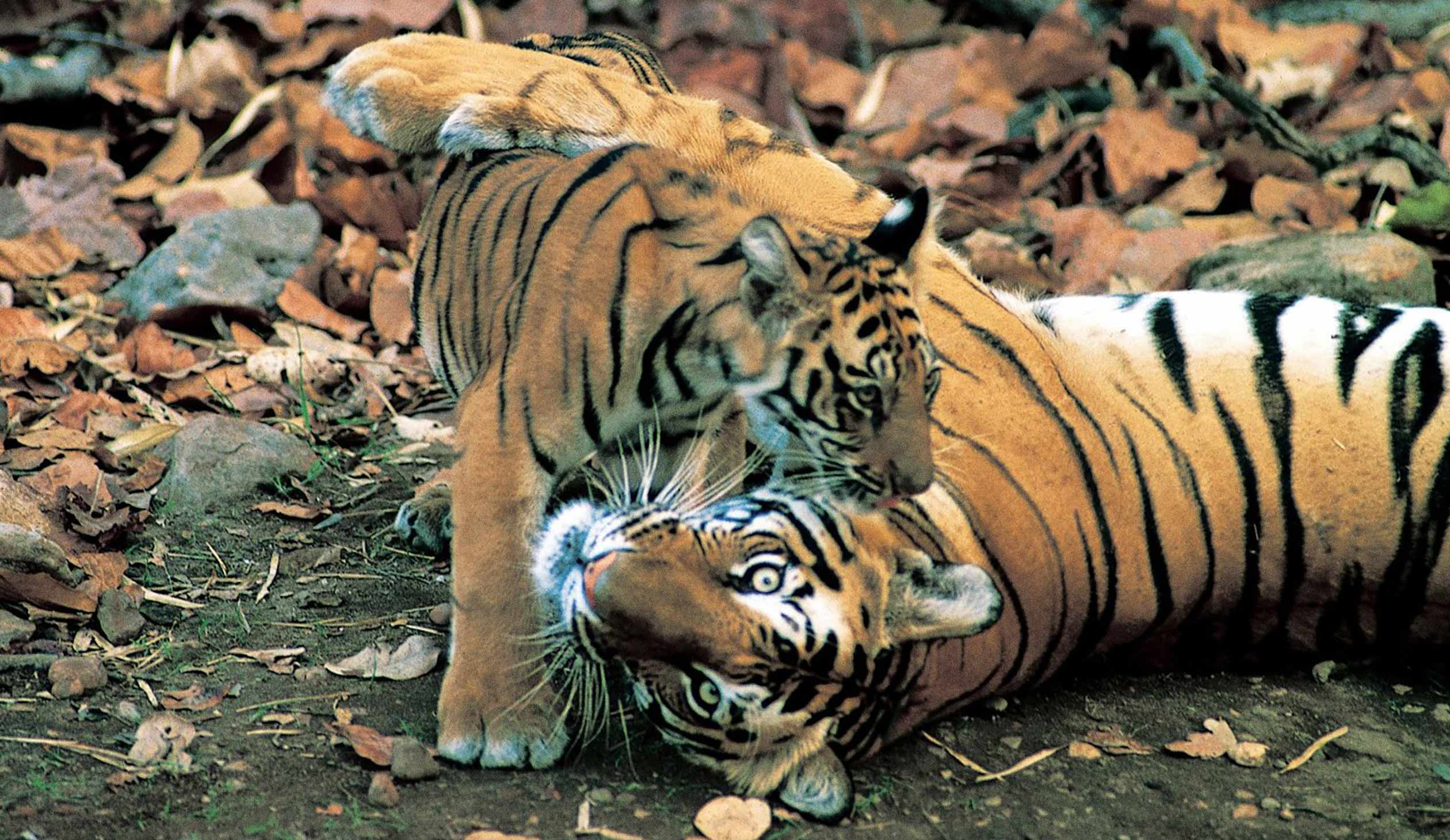 the tyger and the tiger Tyger tyger, burning bright, in the forests of the night what immortal hand or eye, could frame thy fearful symmetry in what distant deeps or skies.